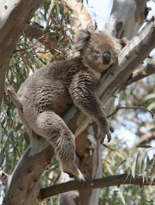 Echidna wildlife tours in Melbourne, Australia koala watching
