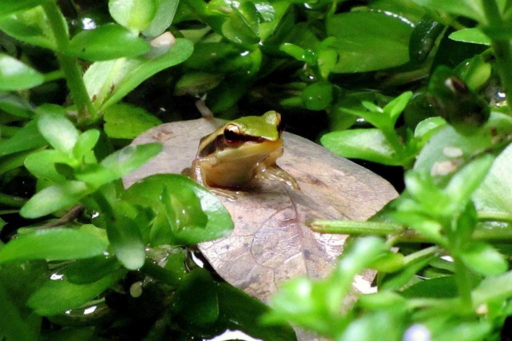 Frog at Siloso Beach Resort