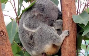 Sleeping Koala at Lone Pine Sanctuary, Brisbane