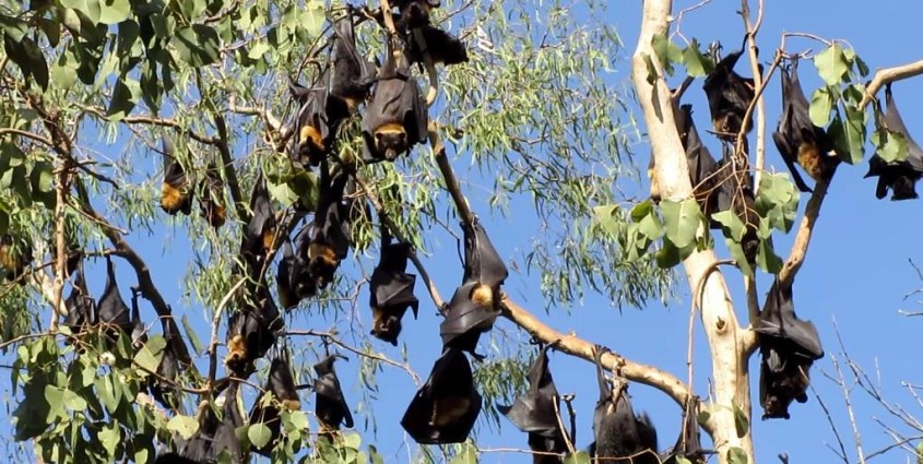 Flying foxes bats on Wait a While tour in Cairns Australia