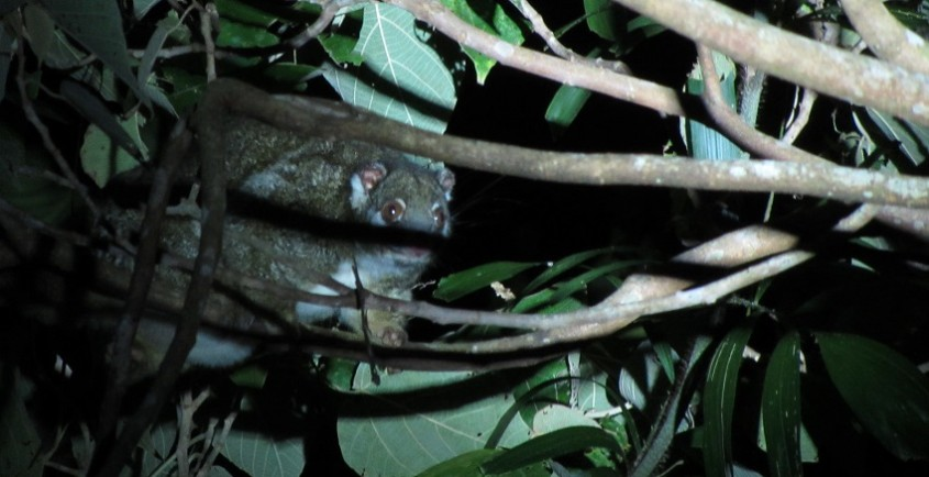 Green tailed Possum on Wait a While Wildlife tour Cairns