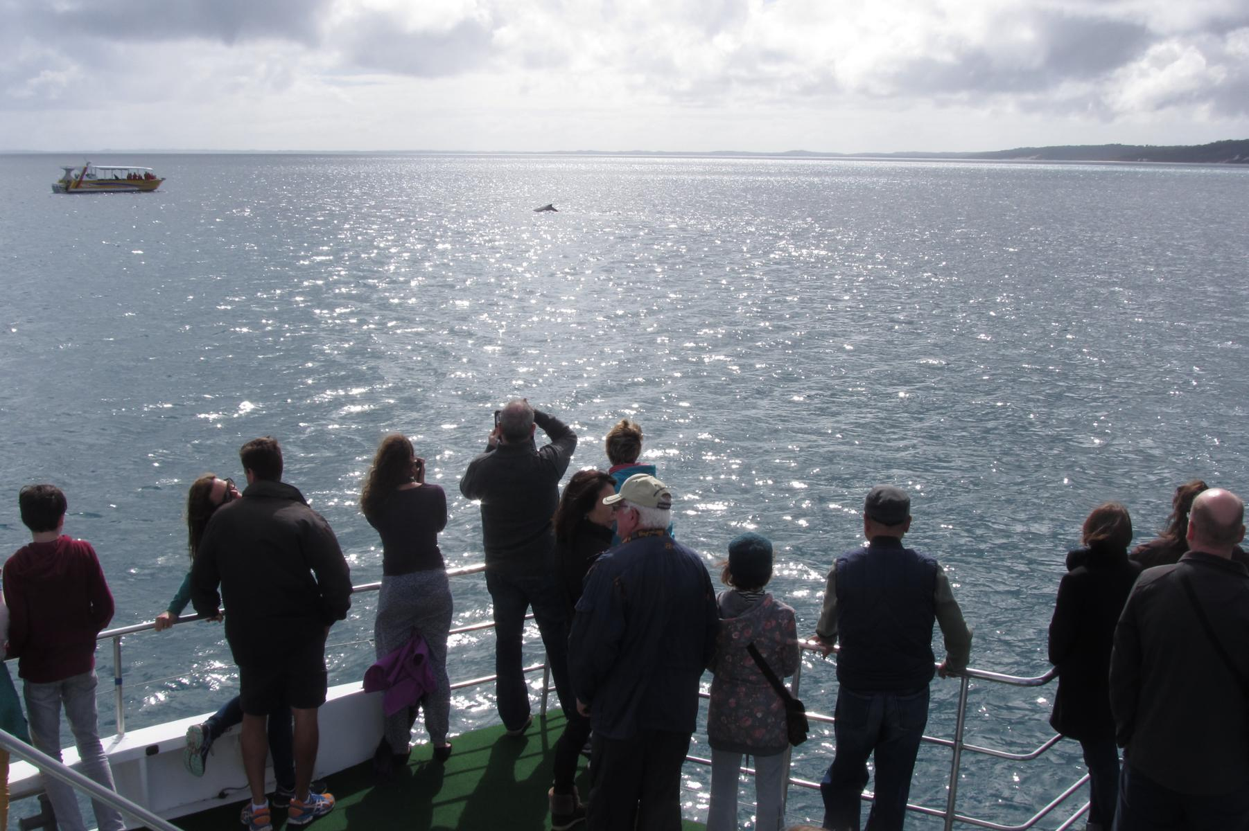 Things To Do Around Brisbane: Whale Watching in Hervey Bay