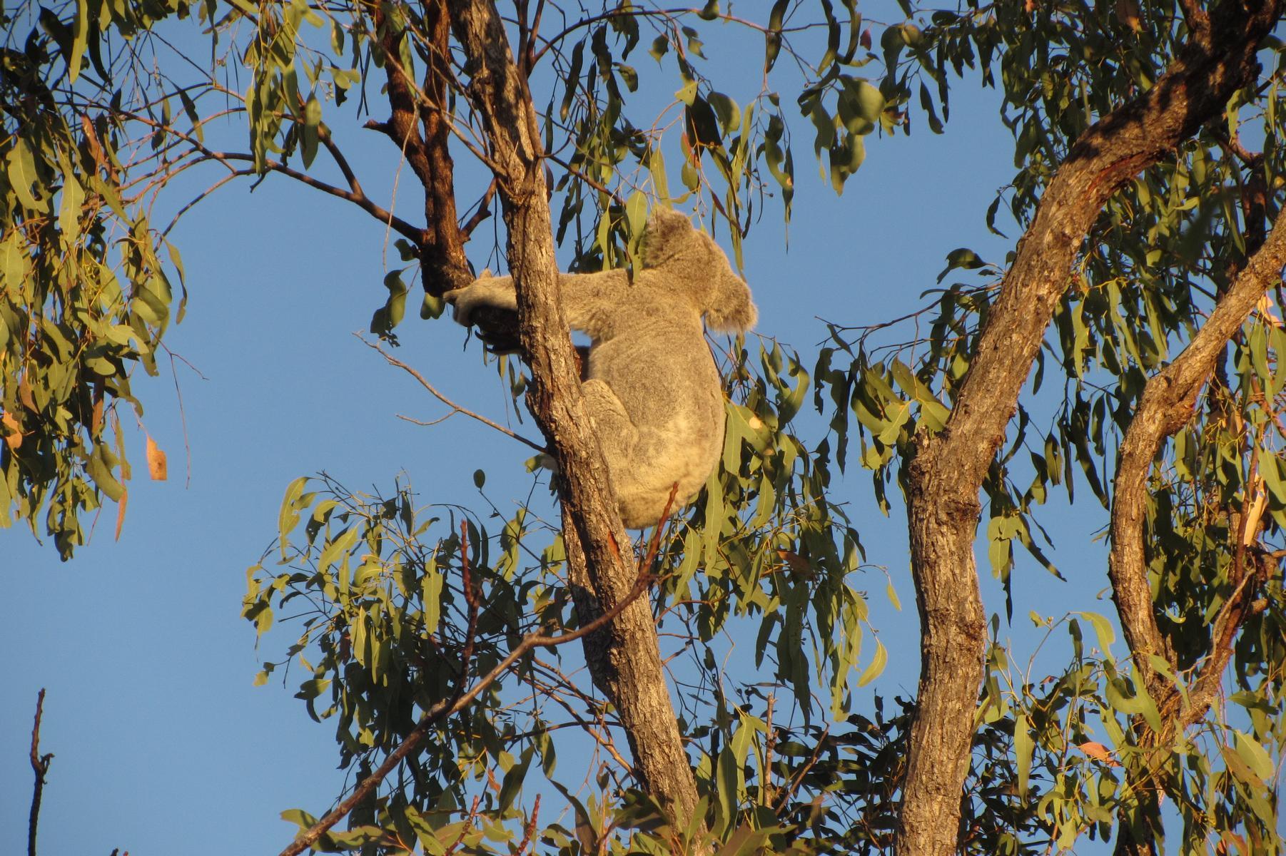 Koala on Magnetic Island, Australia