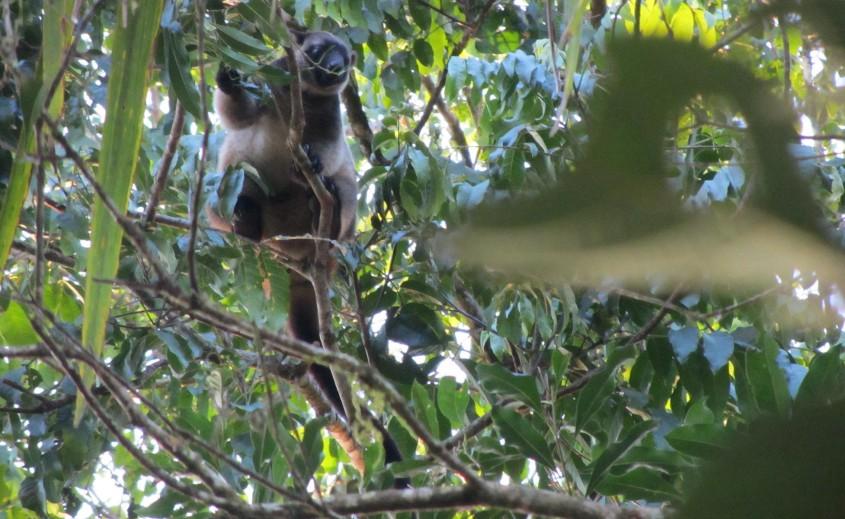 Tree kangaroo on Wait a While Tour Cairns, Australia