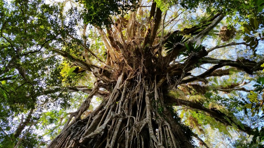 Wait a While Tour, Cathedral Fig Tree, Cairns, Queensland, Australia
