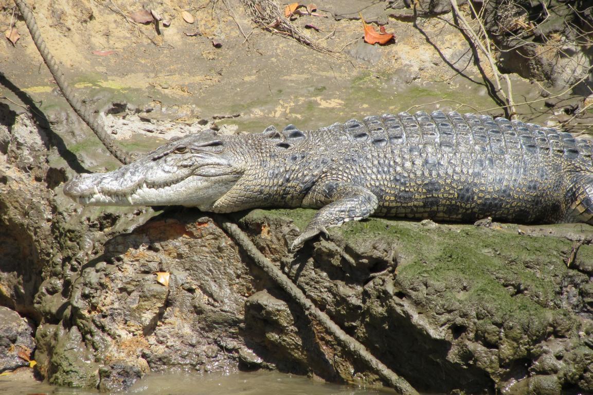 Croc at Daintree River, Cape Tribulation, Cairns, Queensland, Australia